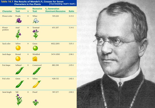 OpenScientist: Gregor Mendel - Father of Genetics and Son of ...